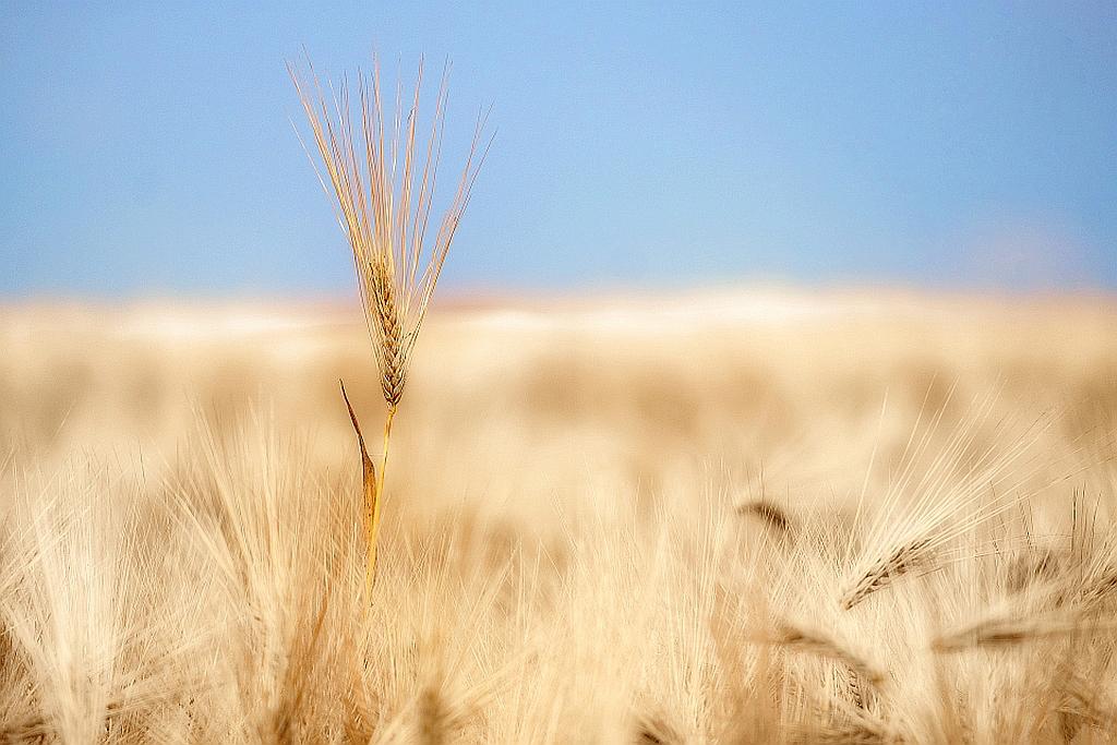 Acker Getreide